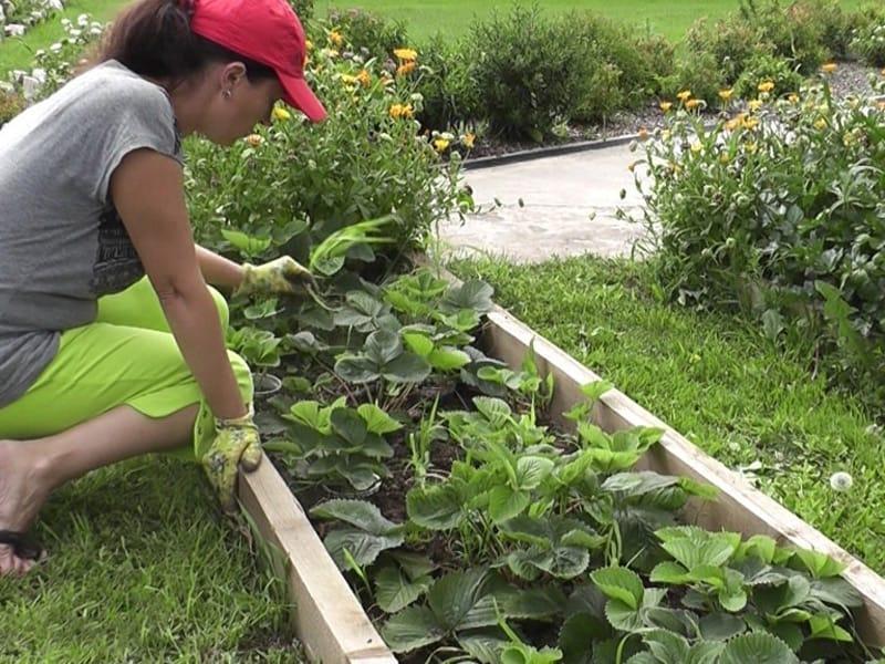Как правильно вырастить клубнику?