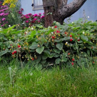 Земляника садовая Руяна