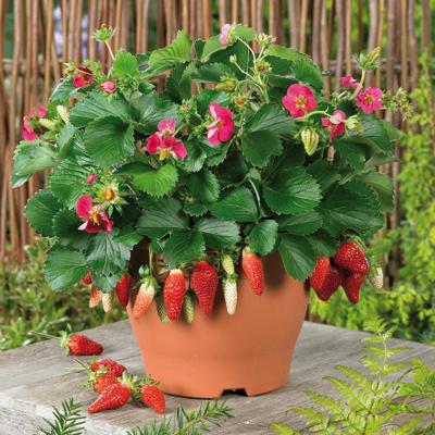 Земляника садовая Тарпан