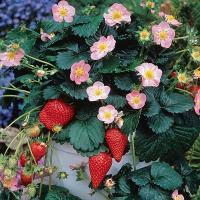 Земляника садовая Мерлан