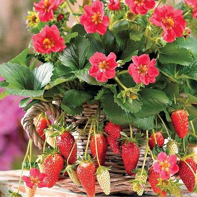 Земляника садовая Руби Энн