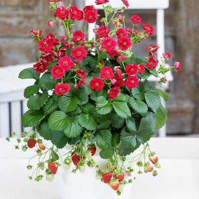 Земляника садовая Саммер Бриз Роуз